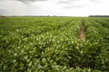 Soy Beans Grow Big and Lush in the Deep South USA - PhotoDune Item for Sale