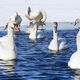 swans swimming - PhotoDune Item for Sale