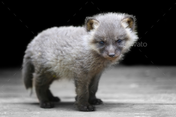 Baby silver fox - Stock Photo - Images