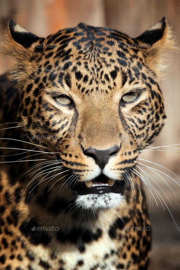 Close up leopard portrait - Stock Photo - Images