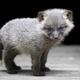 Baby silver fox - PhotoDune Item for Sale