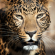 Close up leopard portrait - PhotoDune Item for Sale