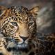 Close up leopard portrait - PhotoDune Item for Sale