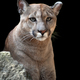 Portrait of a cougar, mountain lion, puma - PhotoDune Item for Sale