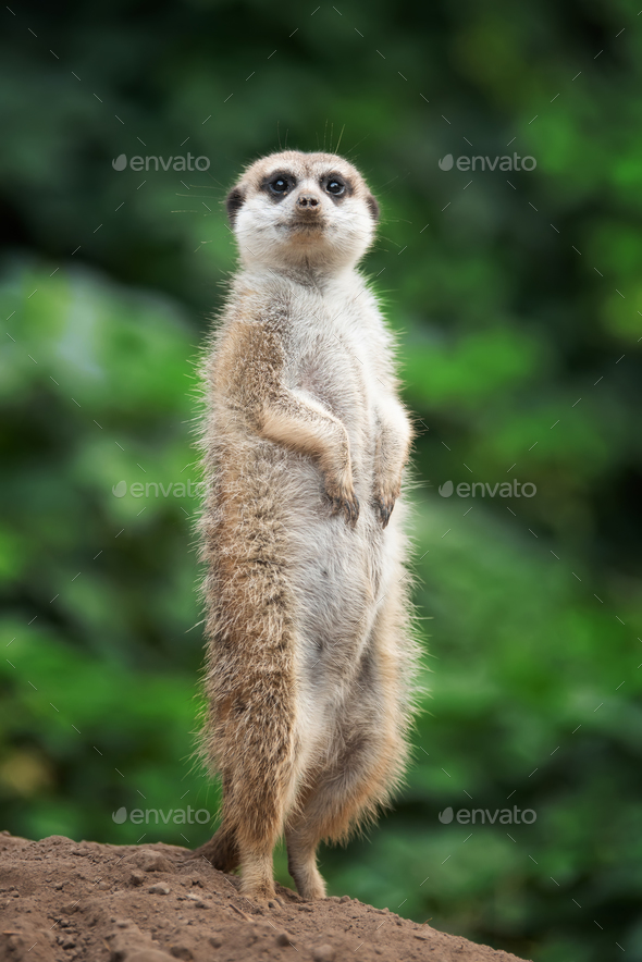 Surricate meerkats standing - Stock Photo - Images