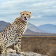 Wild african cheetah - PhotoDune Item for Sale