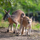 Kangaroo in a natural habitat - PhotoDune Item for Sale