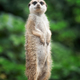 Surricate meerkats standing - PhotoDune Item for Sale