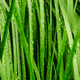 Long green grass covered with rain - PhotoDune Item for Sale