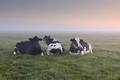 relaxed cows on pasture at misty sunrise - PhotoDune Item for Sale