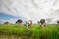black and white milk cows on pasture - PhotoDune Item for Sale