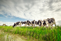 few cows on pasture over blue sky - PhotoDune Item for Sale