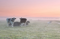 relaxed cows on misty pasture at sunrise - PhotoDune Item for Sale