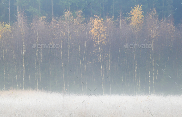 yellow birch trees in frosty fall morning - Stock Photo - Images
