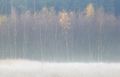 yellow birch trees in frosty fall morning - PhotoDune Item for Sale