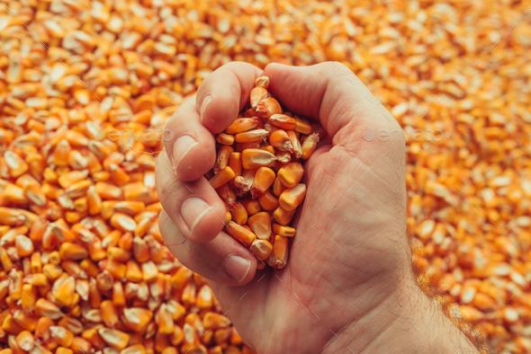 Farmer handful of harvested corn kernels - Stock Photo - Images