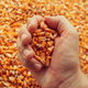 Farmer handful of harvested corn kernels - PhotoDune Item for Sale