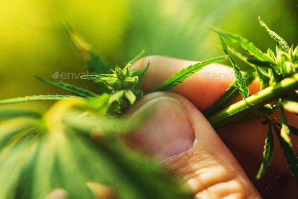 Farmer is examining cannabis hemp male plant flower development - Stock Photo - Images