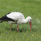 White stork (Ciconia ciconia) - PhotoDune Item for Sale