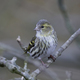 Eurasian siskin (Spinus spinus) - PhotoDune Item for Sale