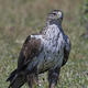Bonellis eagle (Aquila fasciata) - PhotoDune Item for Sale