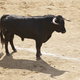 Fighting bull in the arena. Bullring. Toro bravo. Spain. Horizontal - PhotoDune Item for Sale