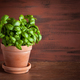 fresh basil herb in terracotta flowerpot - PhotoDune Item for Sale
