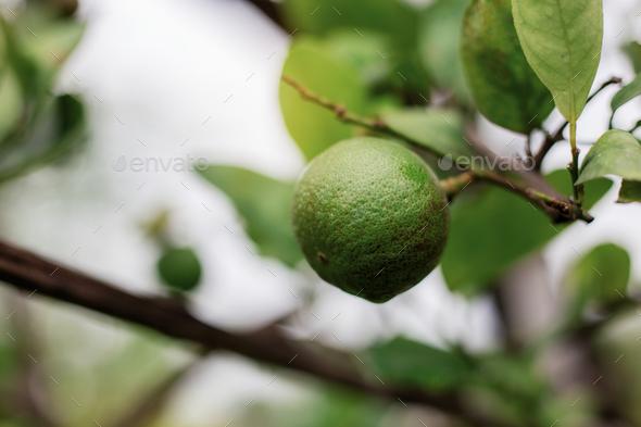 Lemon on tree with sunrise - Stock Photo - Images