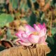 Pink lotus with sunlight - PhotoDune Item for Sale