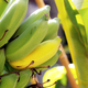 Banana raw and ripe in farm - PhotoDune Item for Sale
