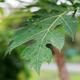 leaves papaya in the spring - PhotoDune Item for Sale
