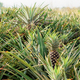 Pineapple in farm at sky - PhotoDune Item for Sale