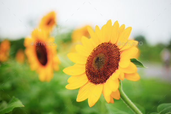 Sunflower with beautiful - Stock Photo - Images