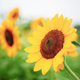Sunflower with beautiful - PhotoDune Item for Sale