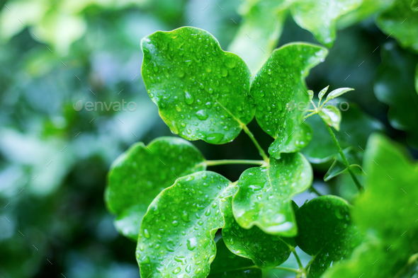 leaves of wet with sunrise - Stock Photo - Images