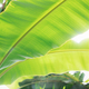 Banana leaves with texture - PhotoDune Item for Sale