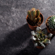 Succulens on dark background - PhotoDune Item for Sale