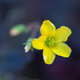little yellow flowers oxalis, macro - PhotoDune Item for Sale