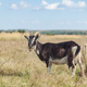 black goat on grass natural pasture - PhotoDune Item for Sale