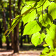 leaves of linden tree close up illuminated by sun - PhotoDune Item for Sale