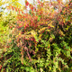 colorful barberry shrub in autumn - PhotoDune Item for Sale