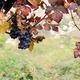 blue grape - PhotoDune Item for Sale