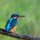 kingfisher (alcedo atthis) in natural habitat - PhotoDune Item for Sale