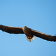 White-tailed eagle (Haliaeetus albicilla) - PhotoDune Item for Sale