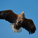 White-tailed eagle (Haliaeetus albicilla) - PhotoDune Item for Sale