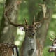 Fallow deer (Dama dama) - PhotoDune Item for Sale
