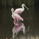 Two Roseate Spoonbills Wade in the Marsh in Georgia United States - PhotoDune Item for Sale