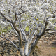 Cherry blossom in Jerte Valley, Caceres. Spring in Spain. Season - PhotoDune Item for Sale