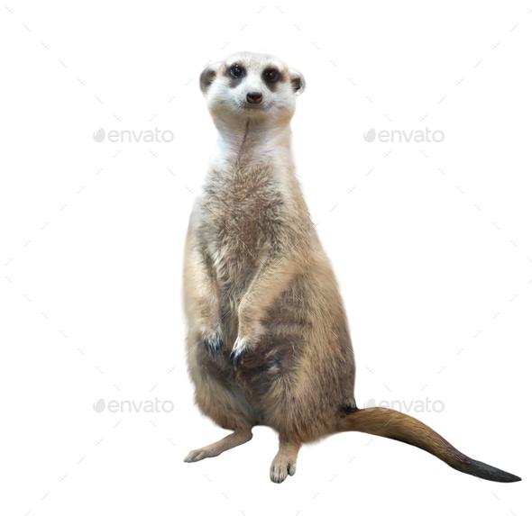 meerkat isolated on white background - Stock Photo - Images