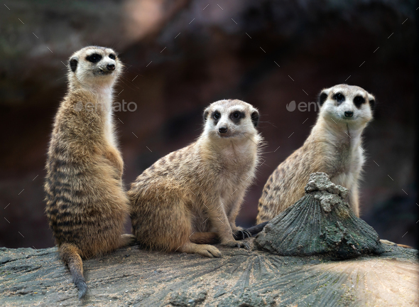 meerkat sitting on the rock - Stock Photo - Images
